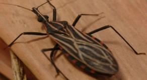 Ibimirim: 24 resultados deram positivo para doença de Chagas, diz SES