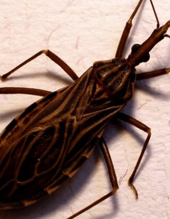 Pernambuco registra surto agudo de Doença de Chagas