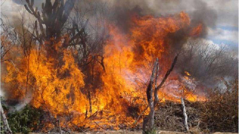 As Polícias Federal, Civil e Militar atuaram na erradicação de 80.300 pés de maconha, dentro da fase percusora da Operação Muçambê
