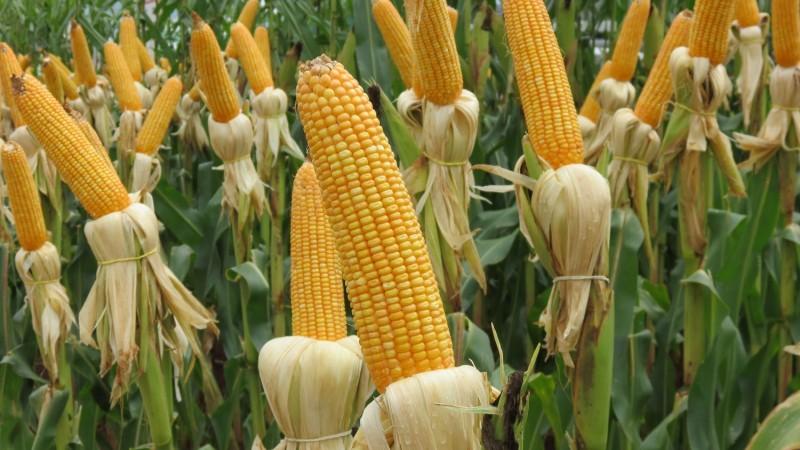 Uma espiga de milho média contém por volta de 80 calorias. O milho verde possui propriedades anticancerígenas e antivirais