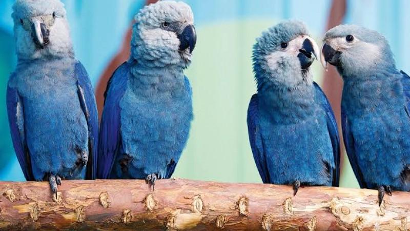 A ave entrou em extinção em outubro de 2000, por ser alvo de caçadores traficantes de animais