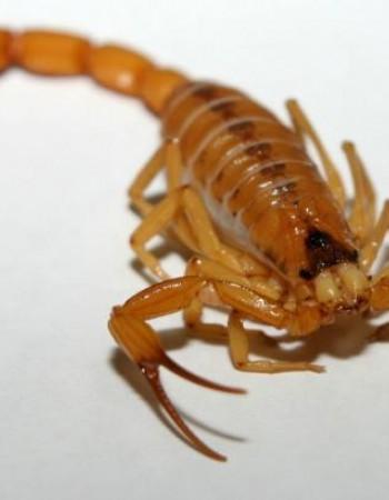 Pernambuco registra média de 44 acidentes com escorpião por dia